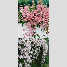 20+ Favorite Flowering Vines For The Fence And Arbor