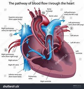 Pathway Blood Flow Through Heart Stock Illustration