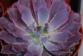 Succulent Plant Echeveria Neon Breakers