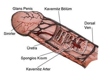 penis erkek anatomisi genital b lge genital sigil hpv
