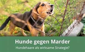 Marder Vom Auto Fernhalten : helfen hundehaare gegen marder anwendung wirkungsweise ~ Frokenaadalensverden.com Haus und Dekorationen