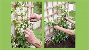 treillis jasmin With idee de plantation pour jardin 18 jasmin etoile plantation taille et entretien