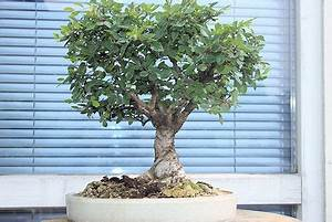Bonsai Chinesische Ulme : bonsaiclub berlin e v ~ Frokenaadalensverden.com Haus und Dekorationen