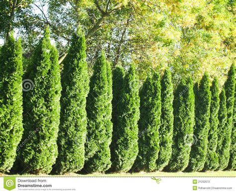 arbor vitae arbor vitae hedgerow 2 stock photography image 21232572