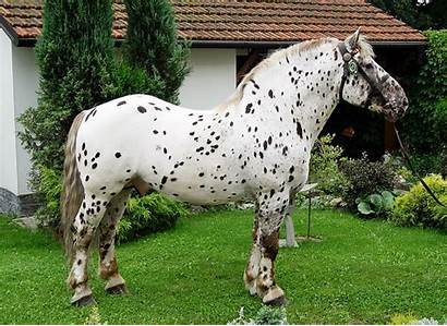 Noriker Horse Horses Breed Appaloosa Silesian Breeds