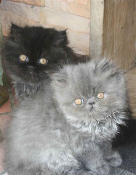 Gatti Persiani Cuccioli by Disponibili Cuccioli Di Persiano Neri E Gattini
