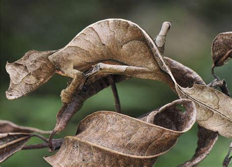 uroplatus gecko amazing adaptations