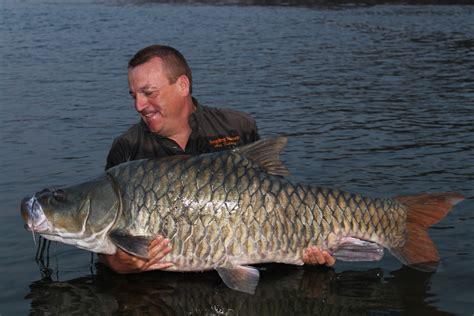 indian giant fish    named   brink  extinction
