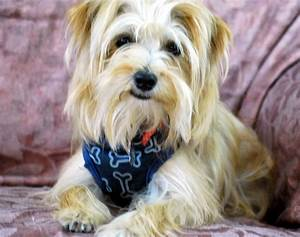 Maltese Yorkie Mix 21 Hd Wallpaper - DogBreedsWallpapers.com