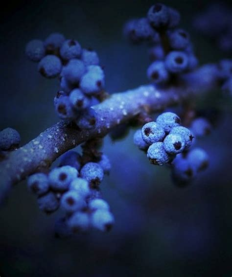 photography images blueberries hd wallpaper  background