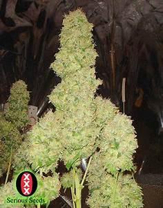 White Russian Cannabis Strain Info