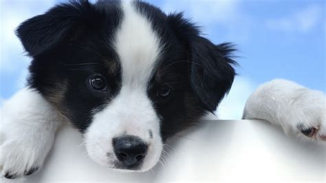 dog puppies border collie animals wallpapers hd