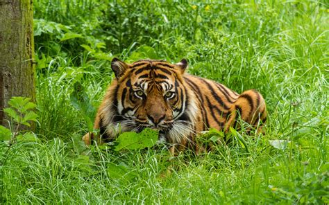 Animals, Tiger, Big Cats, Nature, Green Wallpapers Hd