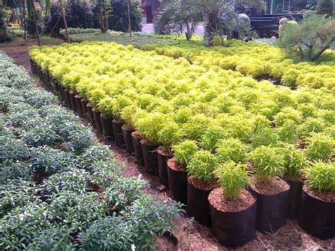 tanaman hias bekasi jual aneka bibit pohon