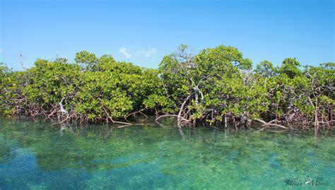 Forests By The Sea  Mangrove Deforestation  Kuli Kuli Foods