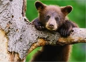 Baby Bear Cub