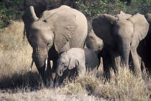 Female Elephant Herd