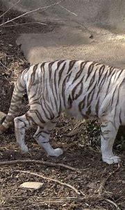 White tiger | White bengal tiger, Bengal tiger, White tiger