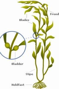 Parts Of Kelp
