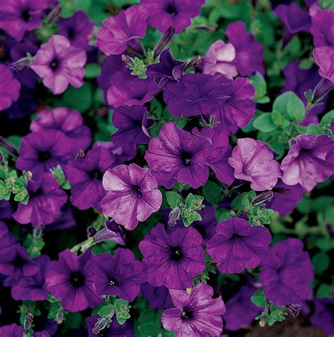 easy wave petunias easy wave blue petunia seeds high quality germination