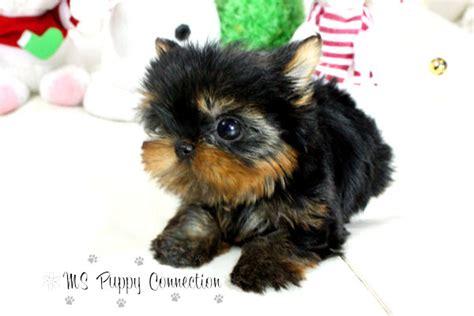Short Hair Yorkie Puppy