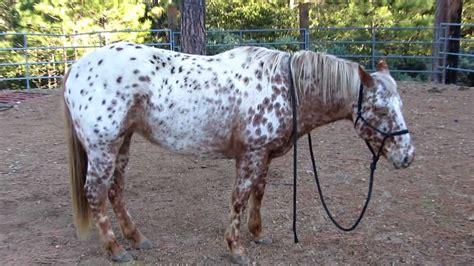 horse appaloosa