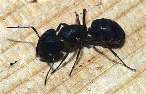 carpenter ants ant exterminator archives seattle pest exterminatorsseattle pest exterminators