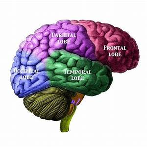 Guide To Basic Brain Anatomy  Learn The Parts Of The Brain