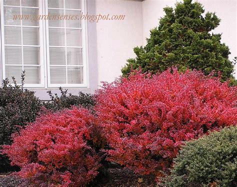 colorful bushes and shrubs garden sense fall color shrubs