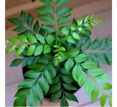 Patta Kadi Curry Plant Leaves Murraya Plants