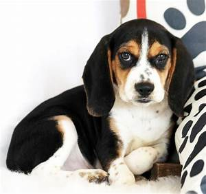 Pocket Beagle For Sale Online Cheap