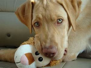 Red nose, Labs and Red nose pit on Pinterest
