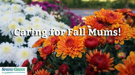 how to take care of mums in fall late season bloomers how to take care of fall mums