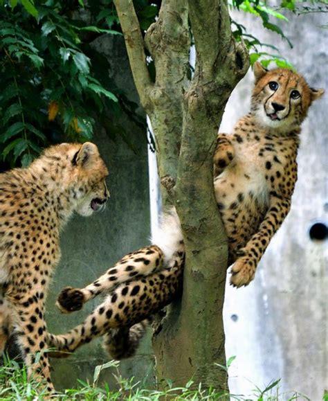 rf gepard  angry trap midget guide    waifu