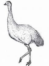 Emu Coloring Colouring Australian Animals Birds Aboriginal Google Template Animal Printable Mask September Salvo Desenhos Ema Colorir Chuck Does sketch template