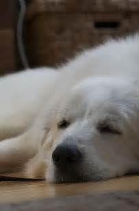 great pyrenees like crazy and pyrenees on pinterest