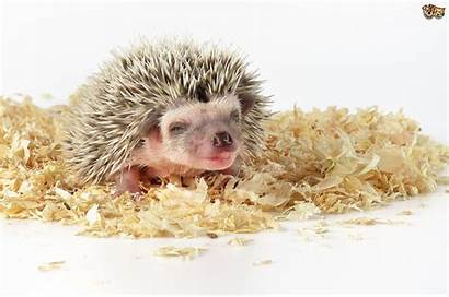 Pets Exotic Animals African Pygmy Fascinating Hedgehog