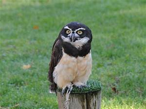 The Online Zoo - Spectacled Owl