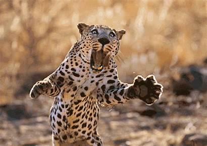 Leopard Pouncing Prey Mouth Open Giphy Postcard