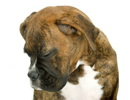 do dogs go through menopause dog pregnancy care and information