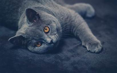 Cat Shorthair British Cats Short Chartreux Animals