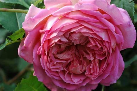 rose jubilee celebration apricot ca cm david