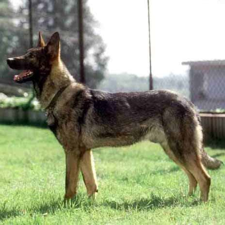 kunming wolfdog breed guide learn   kunming wolfdog