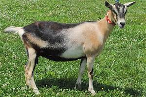 The Alpine Goat | The Goat Guide - Complete Goat Resource