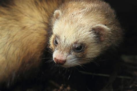 hair loss  ferrets symptoms  diagnosis