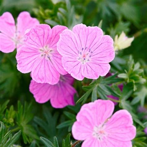 plants that grow in clay soil and shade best 20 perennial geranium ideas on pinterest wild geranium geranium rozanne and geranium flower