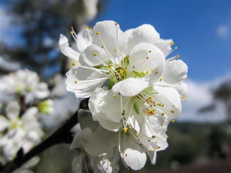 Pflaumenbaum Richtig Pflanzen Und Pflegen by Pflaumenbaum Richtig Pflanzen Und Pflegen Das Haus