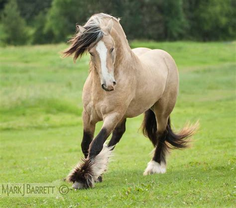 horses gypsy vanner buckskin horse pretty gold stallion draft clydesdale animals most shire mare equine ifp3 markjbarrett breed animal cross