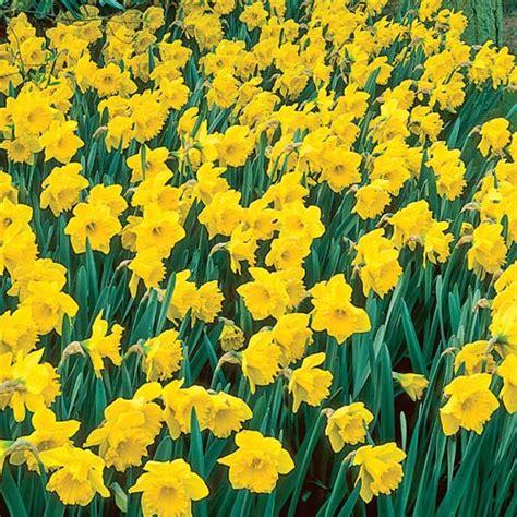 buy yellow naturalizing daffodils at hill nursery