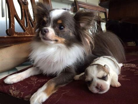 Possible New Sister Blue Tan Tricolor Chihuahua Dogs And Puppies Pinterest Dog Long